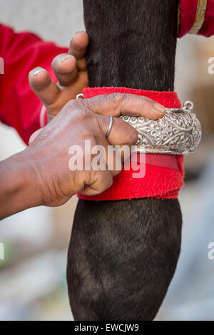 Groom fastening an silver bracelet on the front leg of an Marwari Horse. Participant in the Holi festival at the - Stock Photo