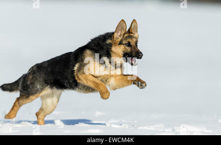 German Shepherd, Alsatian. Adult dog running on snow. Germany - Stock Photo