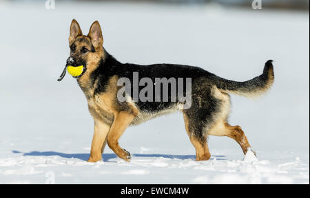 German Shepherd, Alsatian. Adult dog standing on snow while carrying a ball in its snout. Germany - Stock Photo