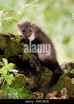Beech Marten (Martes foina). Juvenile on a mossy log. Germany - Stock Photo