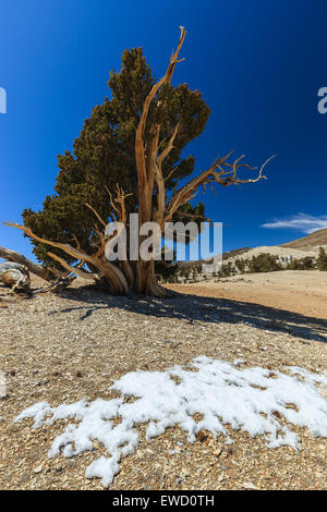 Bristlecone Pine Forest in the white mountains, eastern California, USA. - Stock Photo