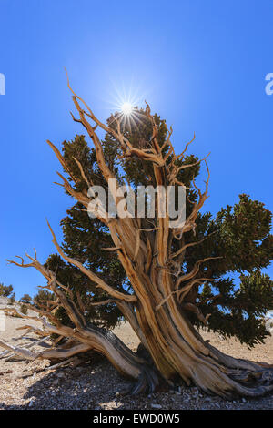 Bristlecone Pine Forest in the white mountains, eastern California, USA. The oldest living trees in the world. - Stock Photo