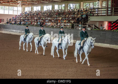 Lipizzaner performing horses at Lipica Stud Farm. Slovenia - Stock Photo