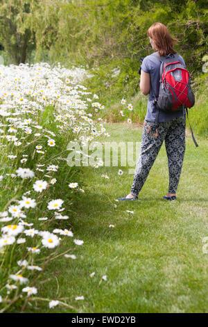 woman looking at masses of Oxeye daisies, Leucanthemum vulgare, growing in summer at Dorset - Stock Photo