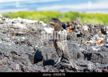 Flightless cormorant standing on a barren island in the Galapagos Islands in Ecuador - Stock Photo