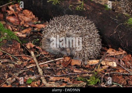 Hedgehog curled up UK - Stock Photo