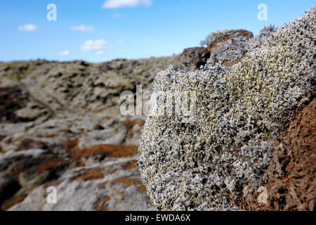 moss and moss damaged by people walking on it on southern lava fields Iceland - Stock Photo