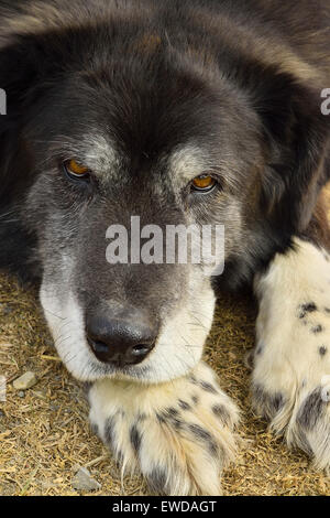 A close up vertical of an older pet dog laying on his paws but keeping a watchful eye on his surroundings - Stock Photo