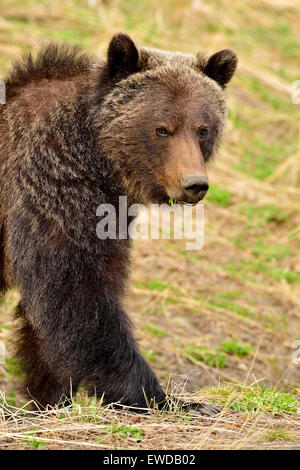 A close up image of an adult grizzly bear,  Ursus arctos, walking forward - Stock Photo