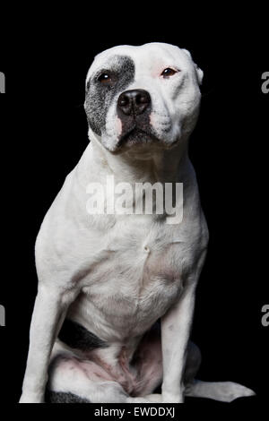 Dramatic studio portrait of sitting white adult Pitbull dog on black background with direct eye contact - Stock Photo