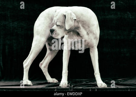 Portrait of adult white Boxer dog standing in a statuesque manner looking back behind himself - Stock Photo