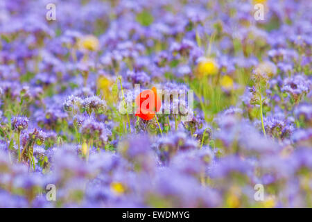Field of Phacelia with a Lone Red Poppy - Stock Photo