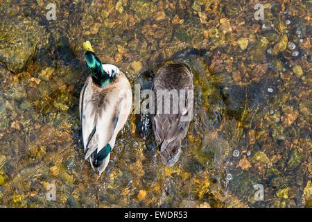 Male and female Mallard ducks feeding in a clear stream, UK - Stock Photo
