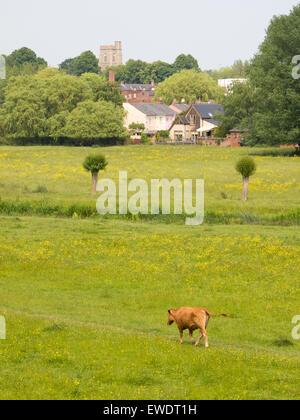A dairy cow walking along grazing land in Sudbury, Suffolk, England. - Stock Photo