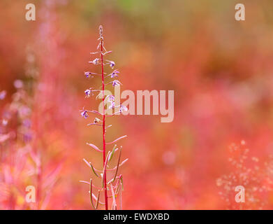 Close up on Fire-weed, Chamerion angustifolium in the autumn, fall. Orange to red colors. Overblown flowers, wither. - Stock Photo