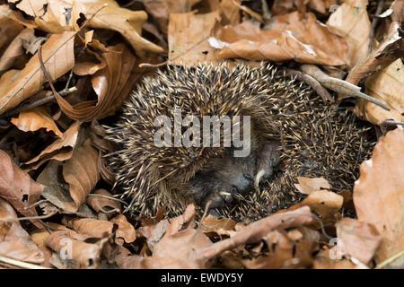 European hedgehog, hibernation, overwinter survival, Europäischer Igel, Winterschlaf, Überwinterung, Erinaceus europaeus - Stock Photo