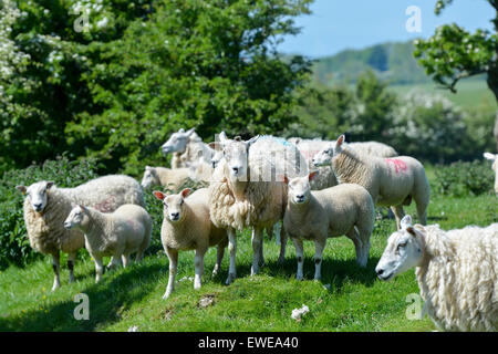 Sheep in pasture with beltex sired lambs at foot. Cumbria, UK. - Stock Photo