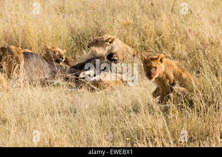 Pride of lions (Panthera leo) feeding on a Wildebeest (Connochaetes taurinus) in the Serengeti Tanzania - Stock Photo