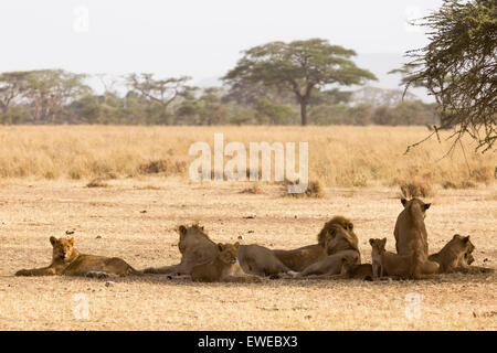 Pride of lions (Panthera leo) resting in the shade of an acacia tree in the Serengeti Tanzania - Stock Photo