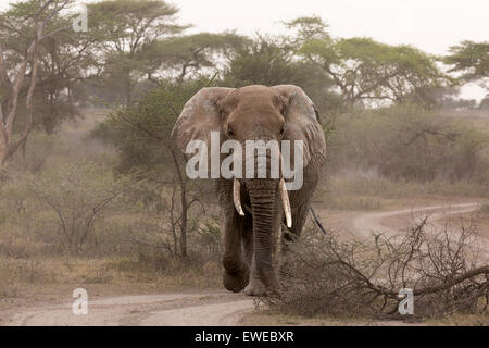 An elephant (Loxodonta africana) walks through woodland in the Serengeti Tanzania - Stock Photo