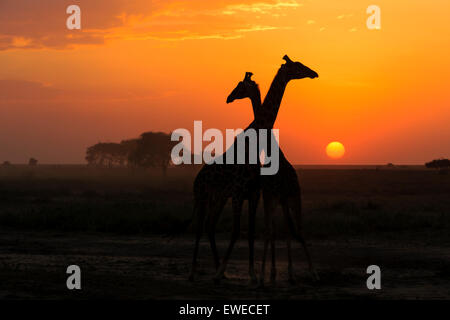 Masai Giraffe (Giraffa camelopardalis) at sunset in the Serengeti Tanzania - Stock Photo