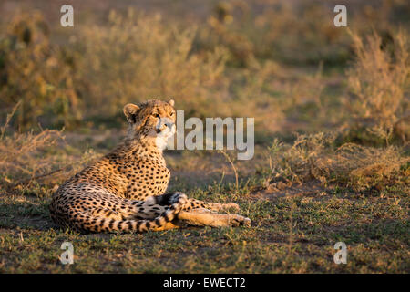 A Cheetah (Acinonyx jubatus) sits in warm sunlight in the Serengeti Tanzania - Stock Photo