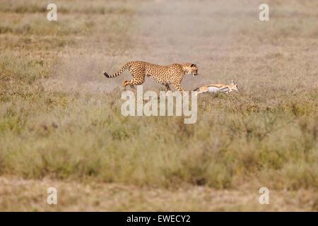 A cheetah (Acinonyx jubatus) chases a juvenile Thomson's Gazelle (Eudorcas thomsonii) in the Serengeti Tanzania - Stock Photo