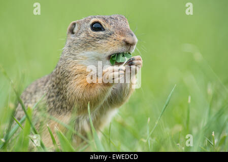 European ground squirrel (Spermophilus citellus) in a meadow, Lower Austria, Austria - Stock Photo