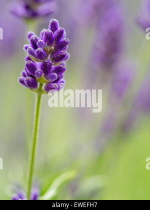 Closeup of lavender flowers in blossom - Stock Photo