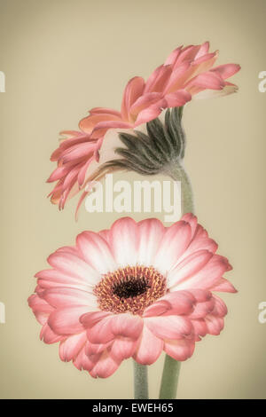 Two pink and white Gerberas - Stock Photo