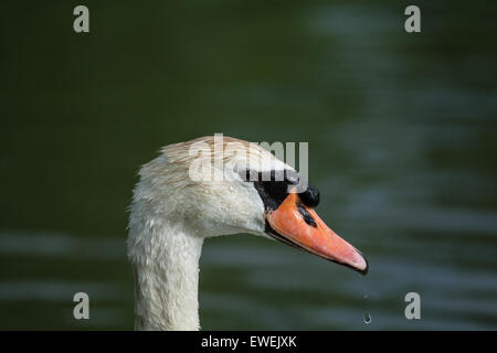 The head of a Mute Swan (Cygnus olor) with drops of water falling from the beak - Stock Photo