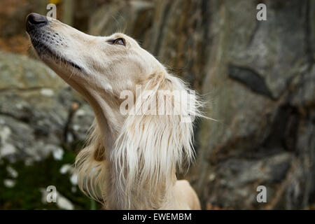 Close up portrait of a Saluki Dog out in nature looking up at its master - Stock Photo