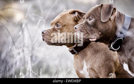 Two Staffordshire Bull Terrier dogs side by side profile in nature with a fixed gaze - Stock Photo