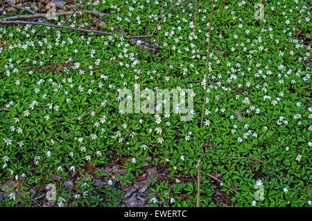 Spring flowers snowdrop anemone. - Stock Photo