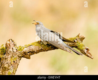Common Cuckoo calling and looking for food - Stock Photo