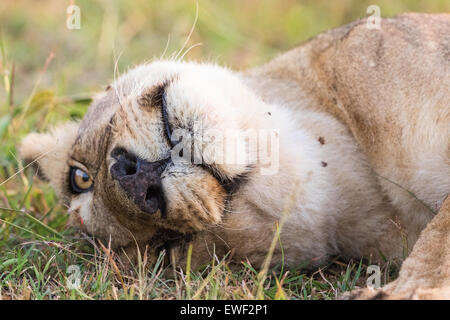 Lioness lying and enjoying in the grass - Stock Photo