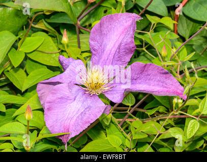 Clematis Polish Spirit flower in West Sussex, England, UK. - Stock Photo
