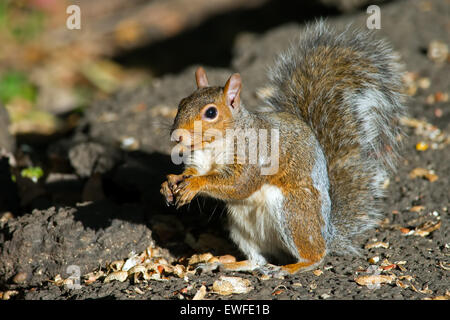 Eastern Gray Squirrel Eating Peanuts - Stock Photo