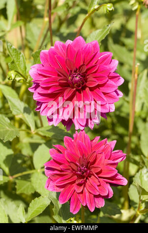 Two big pink flowers blossom stock photo 30978362 alamy two pink hibiscus two big flowers dahlia of crimson colour in garden stock photo mightylinksfo
