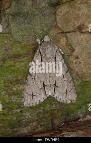 Grey dagger, grey dagger moth, Pfeileule, Pfeil-Eule, Schleheneule, Acronicta psi, Eulenfalter, Noctuidae - Stock Photo