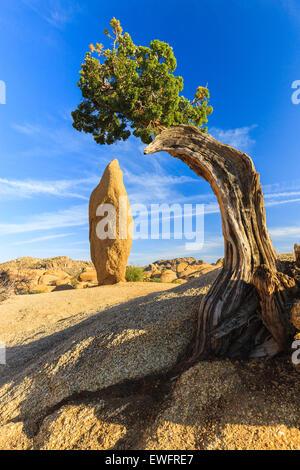 Juniper tree and conical rock at Jumbo Rocks in Joshua Tree National Park, California, USA. - Stock Photo