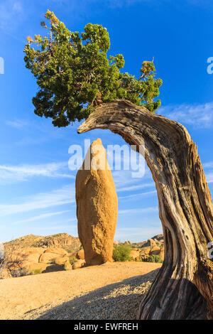 Juniper tree and conical rock at Jumbo Rocks in Joshua Tree National Park, California, USA. - Stock Photo