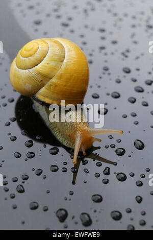 Snail after the rain on a wet surface with some water drops - Stock Photo