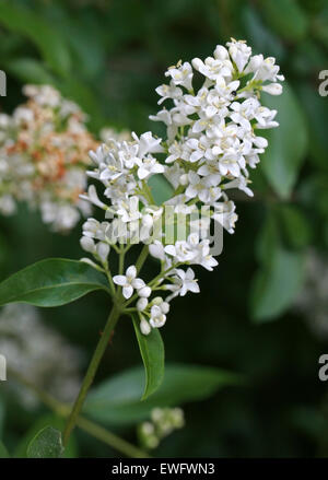 Common Privet or European Privet, Ligustrum vulgare, Oleaceae. - Stock Photo