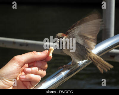 Berlin, Germany, house sparrow eats a breadcrumb from a single source - Stock Photo