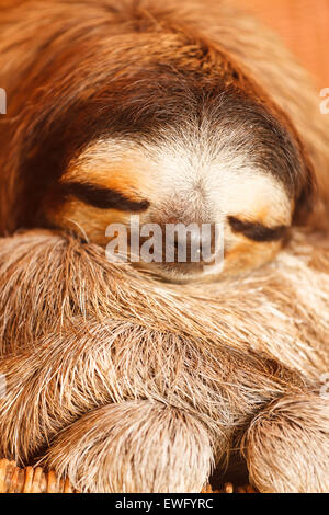 pale-throated sloth (Bradypus tridactylus) Aviarios del Caribe. Costa Rica. America