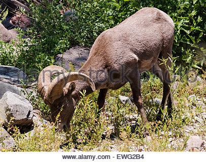 Rocky Mountain Bighorn Ram Ovis canadensis Arizona - Stock Photo