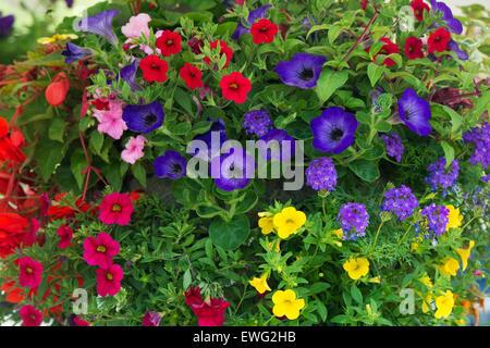 Calibrachoa. Petunia Million Bells flowers in a hanging basket - Stock Photo