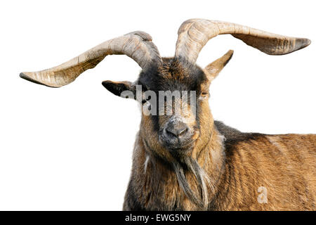 Goat with impressive horns and brown fur looking into the camera, isolated on white background - Stock Photo