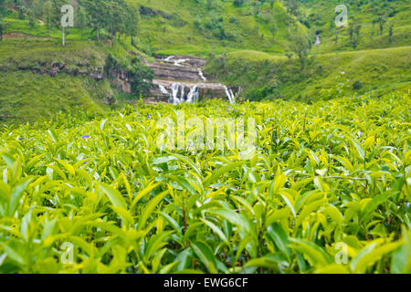 Tea Plantations In Sri Lanka - Stock Photo
